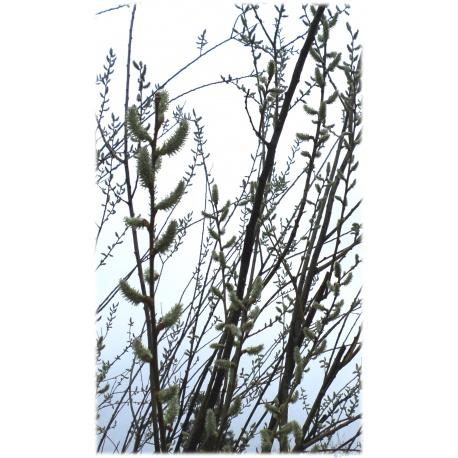 5 Weidenzweige Sal-Weide (Salix caprea) als Weidensteckling, besonders für Imker
